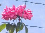 Fleur (8)